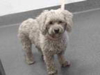 Adopt 20-00577 a Poodle