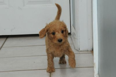 Goldendoodle PUPPY FOR SALE ADN-96473 - Goldendoodle Puppies Ready for their Forever Homes
