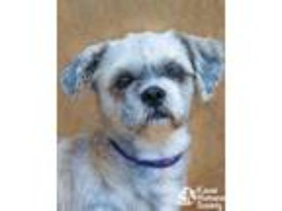 Adopt Tadashi a Brown/Chocolate Shih Tzu / Mixed dog in Lihue, HI (25549298)