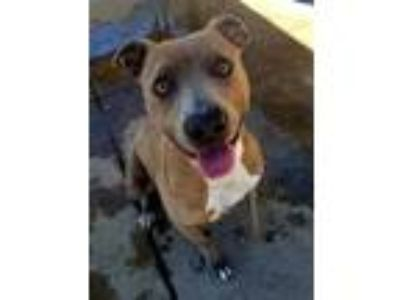 Adopt WASHY BEAR 2 a Brindle American Pit Bull Terrier / Mixed dog in Modesto