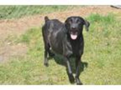 Adopt Lola a Pointer, Labrador Retriever