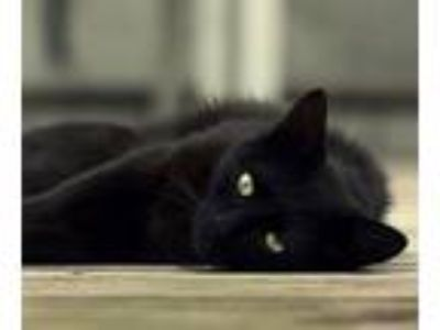 Adopt Licorice a All Black Domestic Shorthair (short coat) cat in Novato