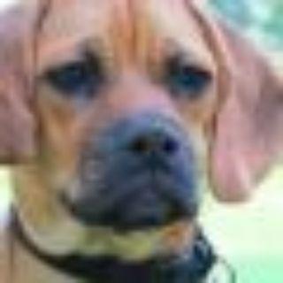 Duke Pug - Beagle Dog