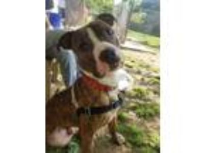 Adopt Jimmy a Pit Bull Terrier