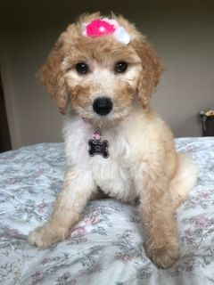 Poodle (Standard) PUPPY FOR SALE ADN-90486 - Standard poodle puppy female
