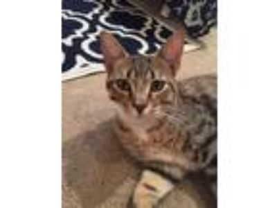 Adopt Grady a Tabby, Domestic Short Hair