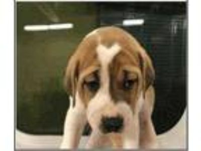 Adopt Lightning a Tan/Yellow/Fawn Boxer / Mixed dog in Fairfax Station