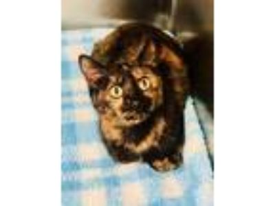 Adopt Jeanette a All Black American Shorthair / Domestic Shorthair / Mixed cat