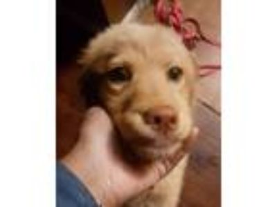 Adopt Sophie-Grace a Tan/Yellow/Fawn - with White Labrador Retriever / Retriever