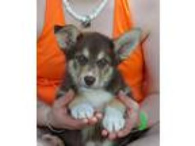 Adopt Gary a Brown/Chocolate - with Tan Husky / Shepherd (Unknown Type) / Mixed