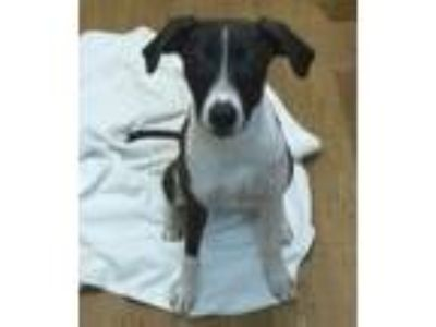 Adopt Julia a Brindle - with White Hound (Unknown Type) / Terrier (Unknown Type
