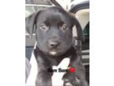 Adopt BamBam a Black - with White Miniature Pinscher / Mastiff / Mixed dog in