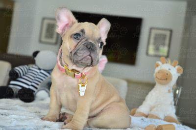 French Bulldog PUPPY FOR SALE ADN-99690 - Blue Fawn Female Nikki