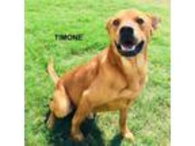 Adopt Timone a Tan/Yellow/Fawn - with White Chow Chow / Mixed dog in Denton