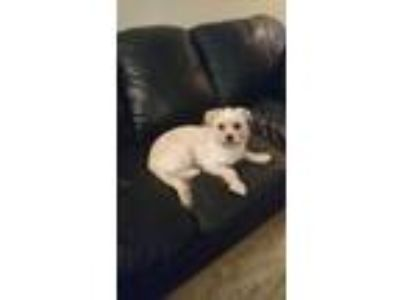 Adopt Luther a White - with Brown or Chocolate Border Terrier / Shih Tzu dog in