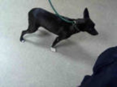 Adopt SELENA a Black - with White Jack Russell Terrier / Mixed dog in Charlotte