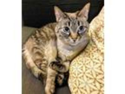 Adopt Betsy Girl a Tan or Fawn (Mostly) Siamese (short coat) cat in Greenburgh
