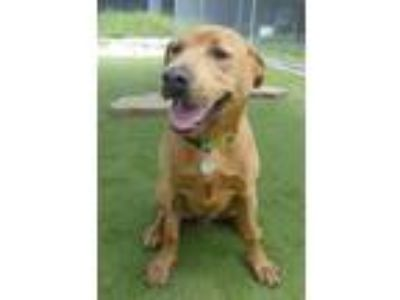 Adopt Raleigh and Jeff a Brown/Chocolate Labrador Retriever / Mixed dog in