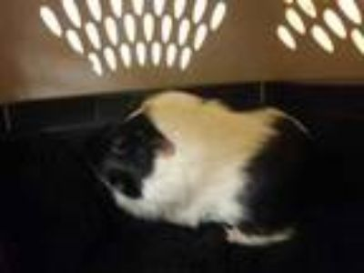 Adopt Maggie a Black Guinea Pig / Guinea Pig / Mixed small animal in Winchester