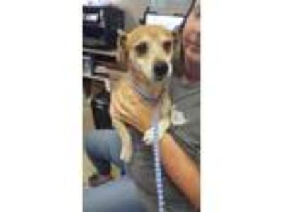 Adopt Wendell a Beagle, Mixed Breed