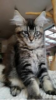 pure bread maine coon kittens male and female