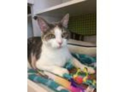 Adopt Callie a White (Mostly) Domestic Shorthair / Mixed cat in Youngsville