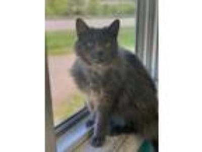 Adopt Reva a Gray or Blue Domestic Mediumhair / Domestic Shorthair / Mixed cat