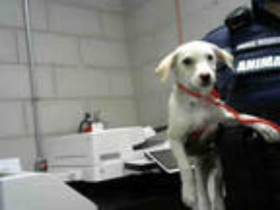 Adopt a White - with Tan, Yellow or Fawn Beagle / Mixed dog in Dallas
