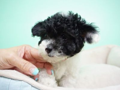 Maltipoo PUPPY FOR SALE ADN-105266 - Maltipoo Female Gigi