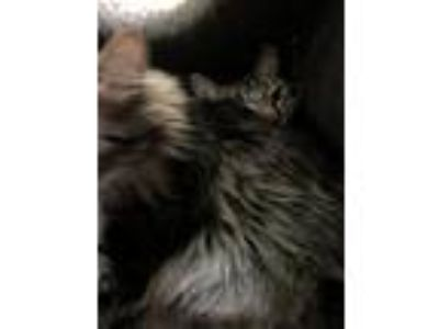 Adopt Milo a Domestic Medium Hair