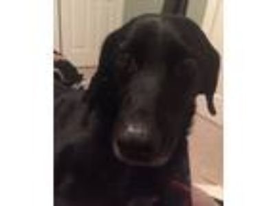 Adopt Onyx a Black - with White Labrador Retriever / Pointer dog in Leesburg