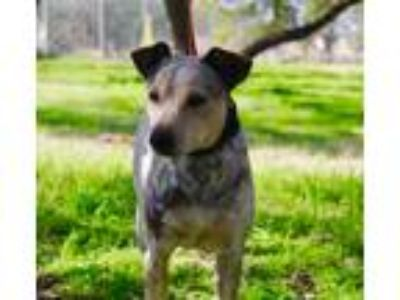 Adopt JULIETTE a Australian Cattle Dog / Blue Heeler