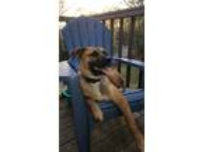 Adopt Bullet a Tan/Yellow/Fawn - with Black Boxer / German Shepherd Dog dog in