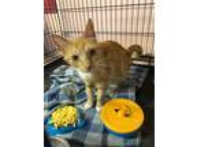 Adopt Pollyanna a Tiger Striped Domestic Mediumhair (medium coat) cat in