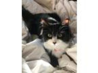 Adopt Luna a Black & White or Tuxedo Domestic Longhair / Mixed cat in Lancaster