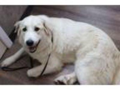 Adopt Thea a Great Pyrenees