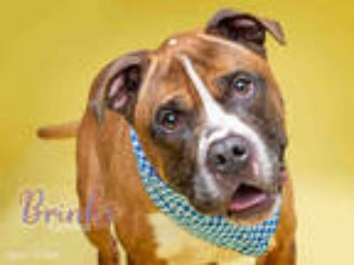 Adopt *BRINKS a Brown/Chocolate - with White Boxer / Mixed dog in Upper