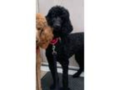 Adopt Little Dahlin a Black Poodle (Standard) / Mixed dog in Bedford