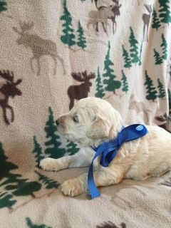 Goldendoodle PUPPY FOR SALE ADN-100939 - Sunset acres