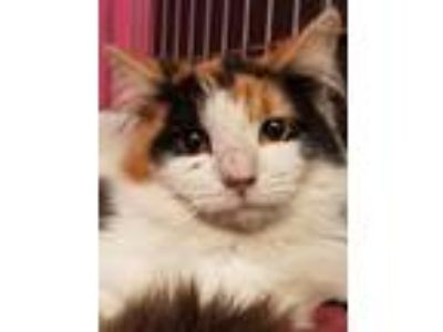 Adopt Magenta a Domestic Short Hair