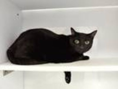Adopt TOOTSIE ROLL a Domestic Short Hair