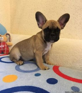 French bulldog puppies 10 weeks old