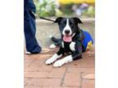 Adopt Morgan a Labrador Retriever, Border Collie