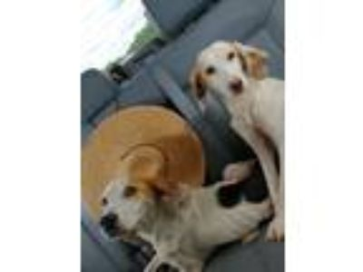 Adopt Puppies a Red/Golden/Orange/Chestnut - with White Beagle / Mixed dog in