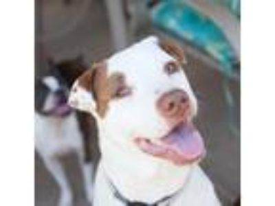 Adopt Bailey a White - with Brown or Chocolate Boxer / Labrador Retriever /