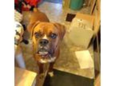 Adopt Zeus a Tan/Yellow/Fawn - with White Boxer / Mixed dog in Westminster