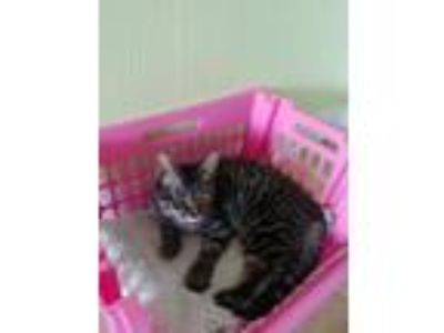 "Adopt "" Buster "" a Gray, Blue or Silver Tabby Domestic Shorthair (short coat)"