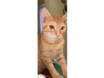Adopt Sunny a Orange or Red Domestic Shorthair (short coat) cat in Shelbyville