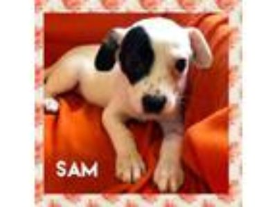 Adopt Sam a Boston Terrier, Australian Cattle Dog / Blue Heeler
