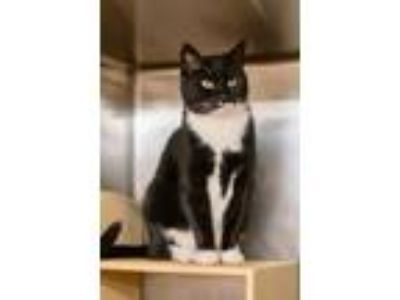 Adopt Weston a Domestic Short Hair, Tuxedo